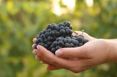 Barbera druiven in vrouwen hand