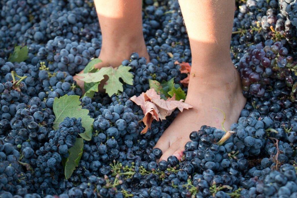 Druiven fijn stampen Tenute Gabellone