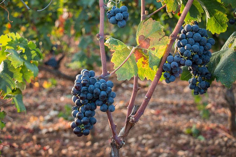 blauwe druiven aan wijnrank Tenute Gabellone