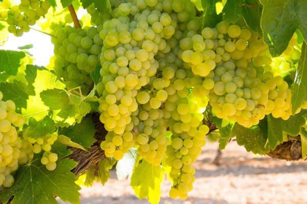 uva-chardonnay